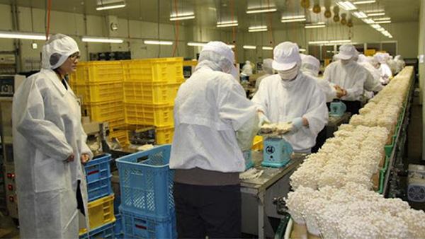 Xuất khẩu lao động Nhật Bản đóng gói nấm