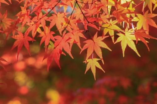 Mùa lá đỏ ở Nhật